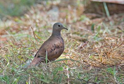 Columbina talpacoti - Ruddy Ground Dove