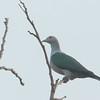 Green imperial Pigeon - aenea ssp