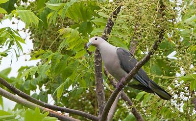 Ducula pickeringii - Grey Imperial Pigeon