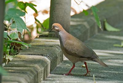 Leptotila cassinii - Grey-chested Dove