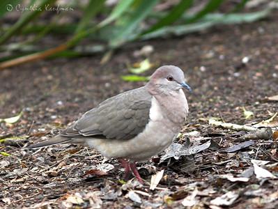 Leptotila verreauxi - White-tipped Dove
