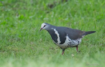 Leucosarcia melanoleuca - Wonga Pigeon