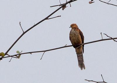 Macropygia ruficeps - Little Cuckoo-Dove
