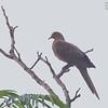 Philippine Cuckoo-Dove - tenuirostris ssp