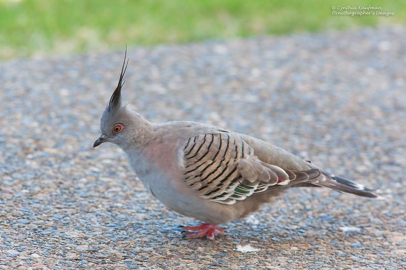 Crested Pigeon - lophotes ssp