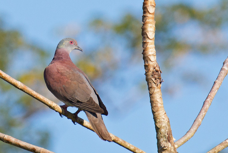 Pale-vented Pigeon - pallidicrissa ssp