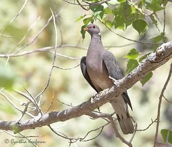 Patagioenas fasciata - Band-tailed Pigeon