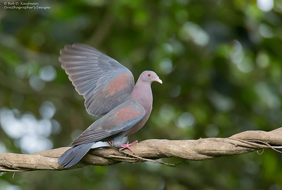 Patagioenas flavirostris - Red-billed Pigeon