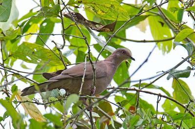 Patagioenas plumbea - Plumbeous Pigeon