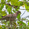 Plumbeous Pigeon - pallescens ssp