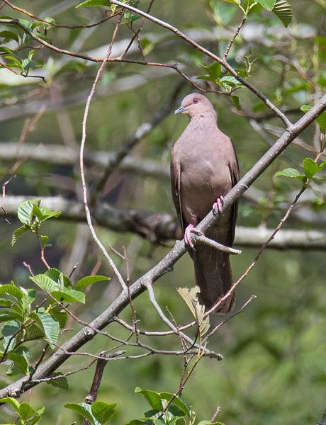 Ruddy Pigeon - subvinacea ssp