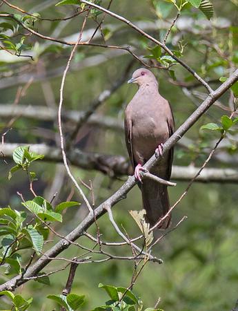 Patagioenas subvinacea - Ruddy Pigeon