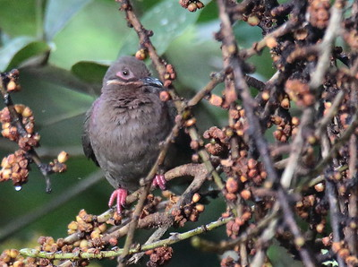 Phapitreron amethystinus - Amethyst Brown Dove