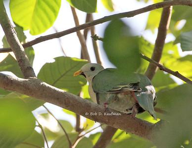 Ptilinopus leclancheri - Black-chinned Fruit Dove