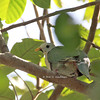 Black-chinned Fruit Dove - gironieri ssp