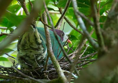 Ptilinopus occipitalis - Yellow-breasted Fruit Dove
