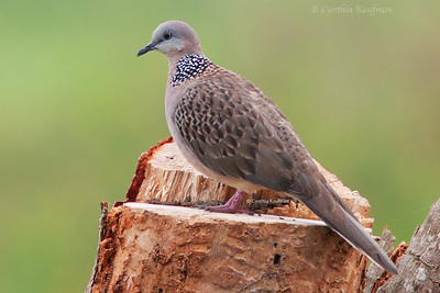 Spilopelia chinensis - Spotted Dove