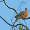 Spotted Dove - chinensis ssp