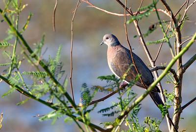 Streptopelia bitorquata - Island Collared Dove