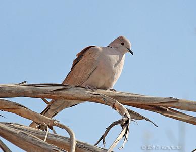 Streptopelia capicola - Ring-necked Dove
