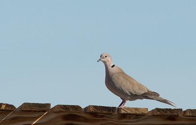 Streptopelia decaocto - Eurasian Collared Dove