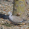 Eurasian Collared Dove - decaocto ssp