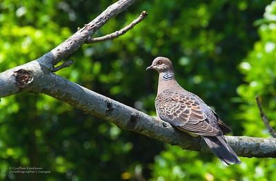Streptopelia orientalis - Oriental Turtle Dove
