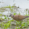 Red Turtle Dove - humilis ssp - female