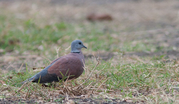 Streptopelia tranquebarica - Red Turtle Dove