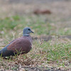 Red Turtle Dove - humilis ssp - male