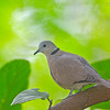 Red Turtledove - humilis ssp
