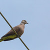 Red Turtle Dove - humilis ssp