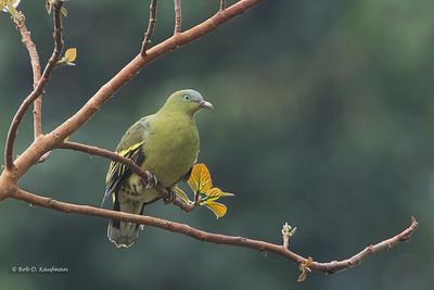 Treron axillaris - Philippine Green Pigeon