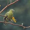 Philippine Green Pigeon - axillaris ssp
