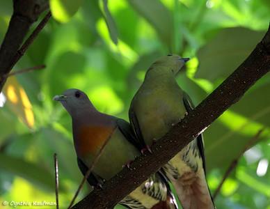 Treron vernans - Pink-necked Green Pigeon
