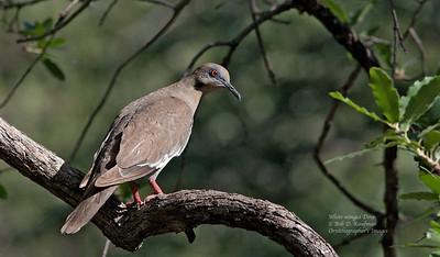 Zenaida asiatica - White-winged Dove