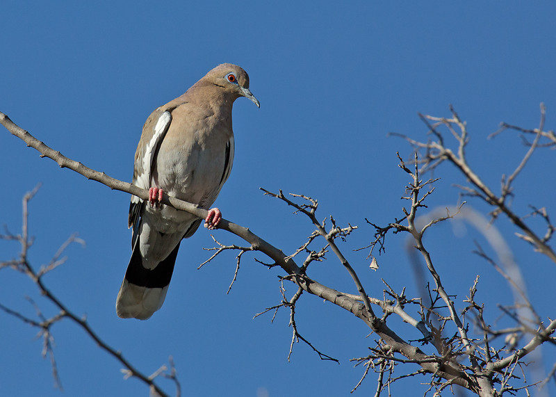 White-winged Dove - mearnsi ssp