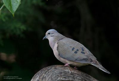 Zenaida auriculata - Eared Dove