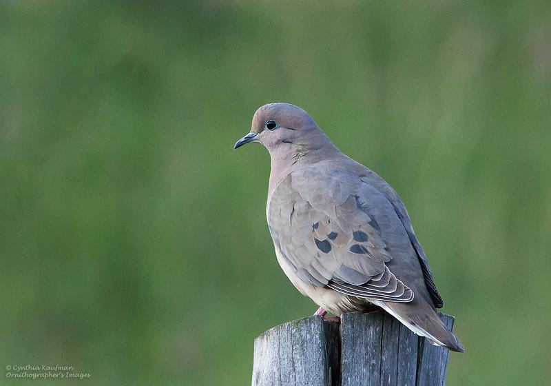 Eared Dove - hypoleuca ssp