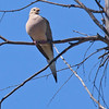 Mourning Dove - marginella ssp