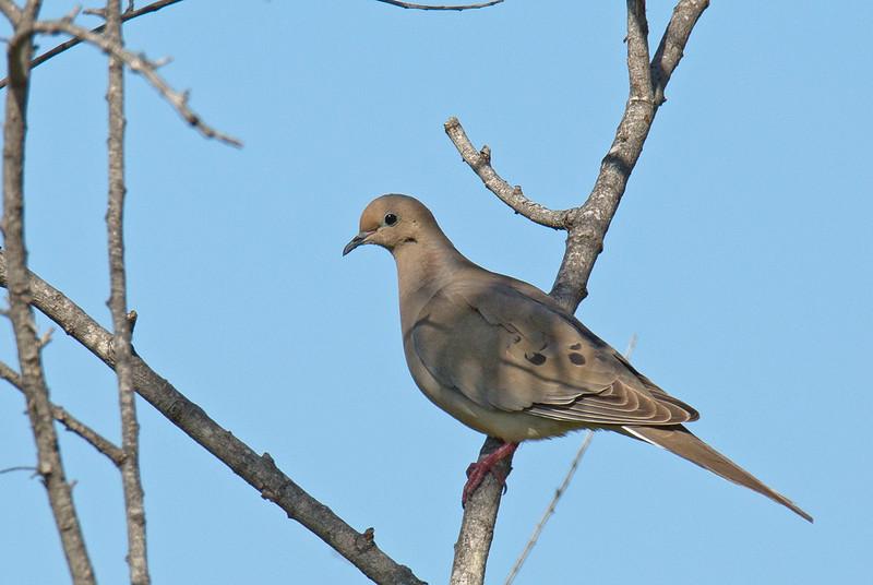 Mourning Dove - marginella ssp