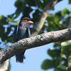 Oriental Dollarbird - orientalis ssp