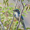 California Scrub Jay - obscura ssp