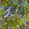 Mexican Jay - arizonae ssp
