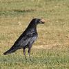 American Crow - hesperis ssp