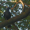 Large-billed Crow - philippinus ssp