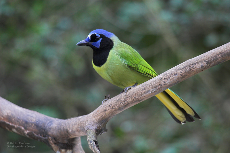 Green Jay - luxuosus ssp