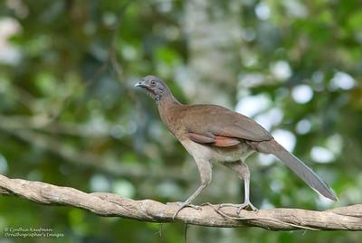 Ortalis cinereiceps - Grey-headed Chachalaca