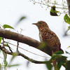 Plaintive Cuckoo - merulinus ssp - immature