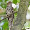 Rusty-breasted Cuckoo - sepulcralis ssp - immature